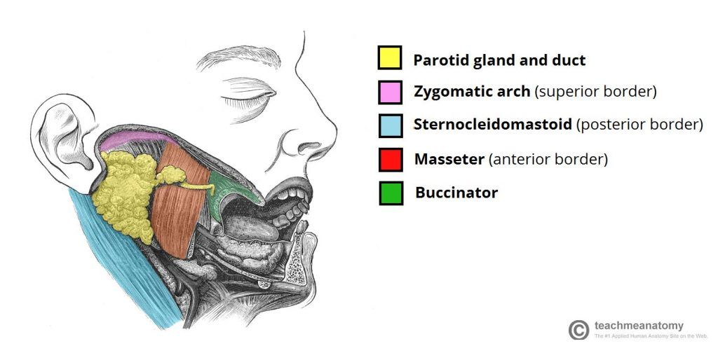 Anatomical-Position-of-the-Parotid-Gland-Parotid-Region-1024x494-1